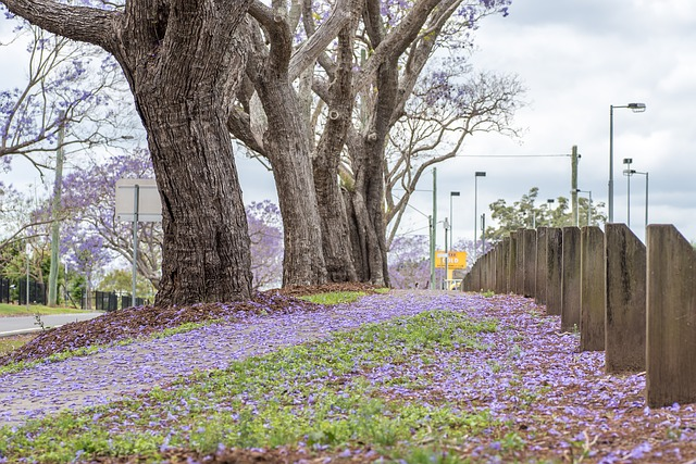 Appreciating the Jacaranda